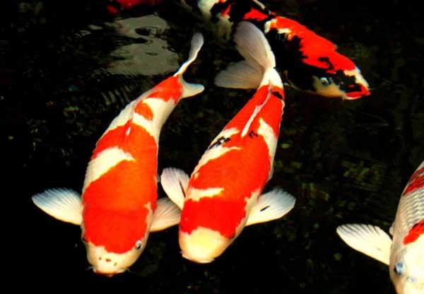 壁纸 动物 鱼 鱼类 600_416