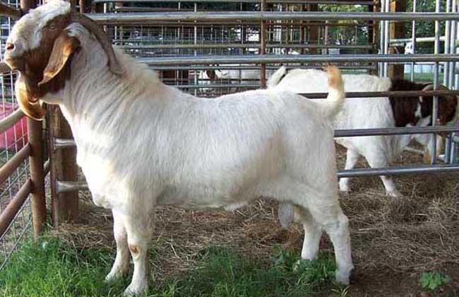 发酵床养羊技术