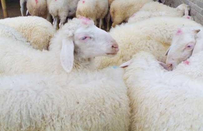 小尾寒羊常见病防治方法