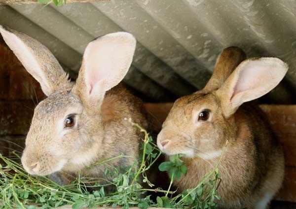 家兔冬季養殖的防疫工作