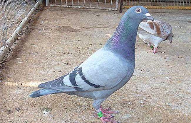 地球鸽青蛙鸟鸽子650_420贡献为动物做了哪些鸟类图片