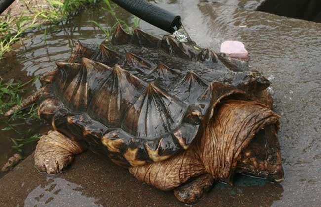 鳄鱼龟怎么分公母,养殖前景如何?