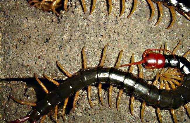 蜈蚣爬到身上会怎么样?
