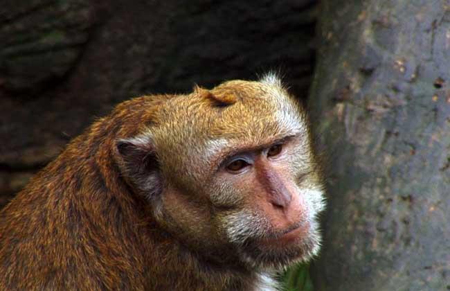 台湾猴 台湾猴为中国特有种,别称台湾猕猴、黑肢猴、岩栖猕猴等,体形酷似猕猴,体更灰,尾深色。栖息于岩壁和山林之中,为半地栖动物,取食各种野果、树叶、昆虫,有时也盗食农家的谷物和瓜果。多结成一雄多雌的家族群,以一体魄强壮的成年雄性作为首领,每胎产1仔,寿命可达20岁。产于中国台湾省的南部和中部。