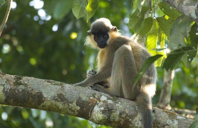 叶猴(所有种) 叶猴是世界上最濒危的灵长类动物之一,共有11种,体型纤细,无颊囊,毛色基本是通体一致,或褐、或灰、或黑,腹面色浅。栖息在热带或亚热带的树林里,以吃树叶为主,尾很长,适于树栖,喜欢在高大的树上活动,有时也到地面饮水或寻找食物。在树间跳跃,距离可达10~12米。白天活动,夜晚睡在大树上,没有窝。分布于泰国、马来半岛、苏门答腊、婆罗洲、爪哇岛和附近的小岛屿。