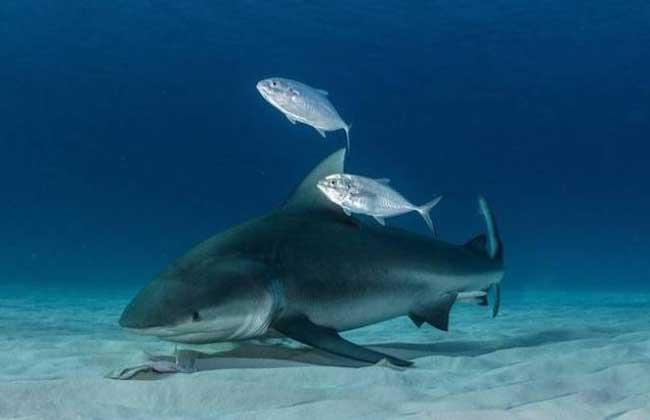主要以包括其它鲨鱼(甚至大白鲨)在内的鱼类为食,也吃鳐类动物,海豚