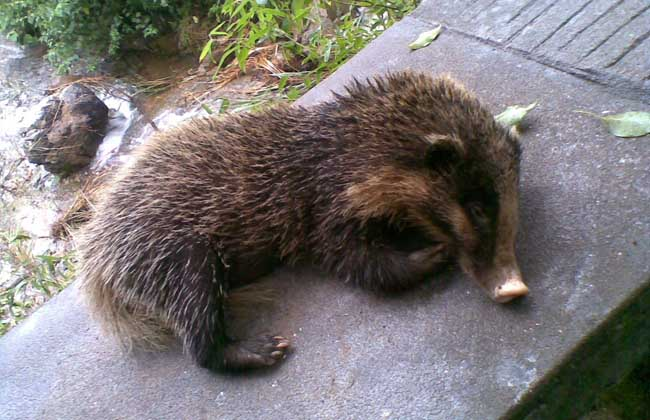 猪獾是保护动物吗?
