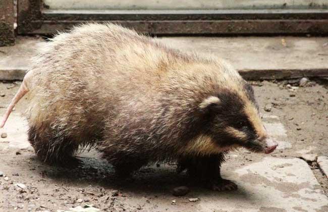 猪獾是保护动物.