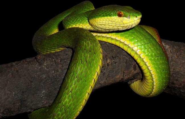 竹叶青蛇有毒吗?图片