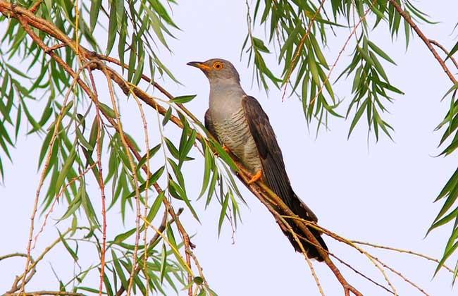 杜鹃鸟常指杜鹃亚科和地鹃亚科的约60种树栖种类,别称杜宇、子规、催归等,为杜鹃科杜鹃属鸟类,分布于全球的温带和热带地区,在东半球热带种类尤多,栖息于植被稠密的地方,胆怯,常闻其声而不见其形,下面我们就一起来看一看杜鹃鸟吃什么食物吧!