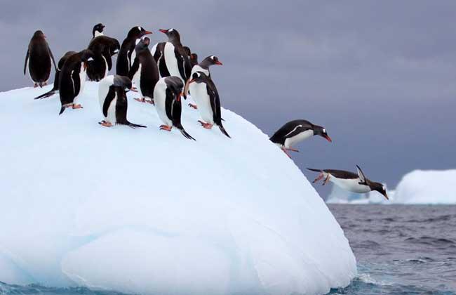 企鹅是典型的海鸟,虽然不会飞,但是游泳的本领在鸟类中是超级选手.