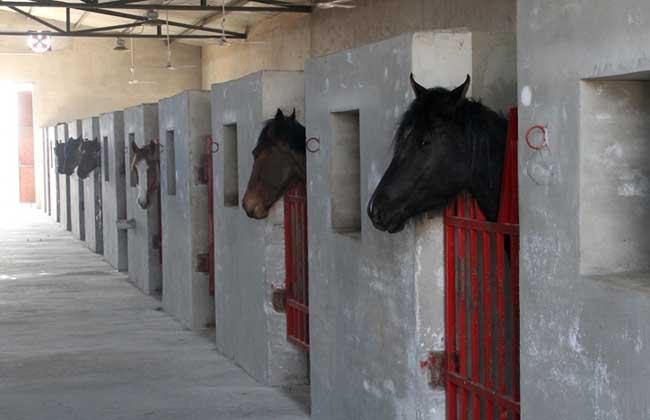 关中马的养殖特点及马厩设计