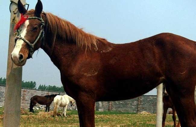 关中马的种马选择