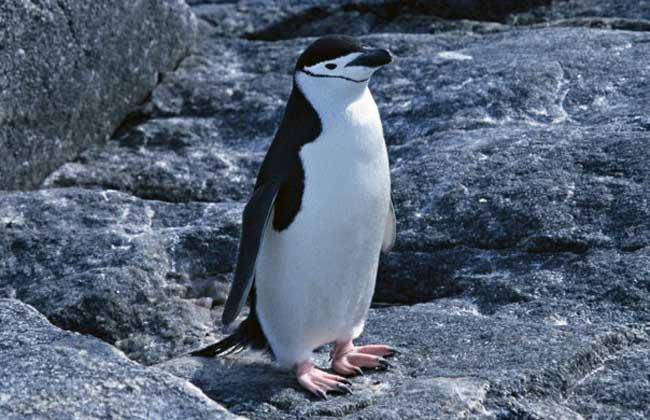 哺乳动物的重要标志一定要是胎生,而企鹅是卵生.