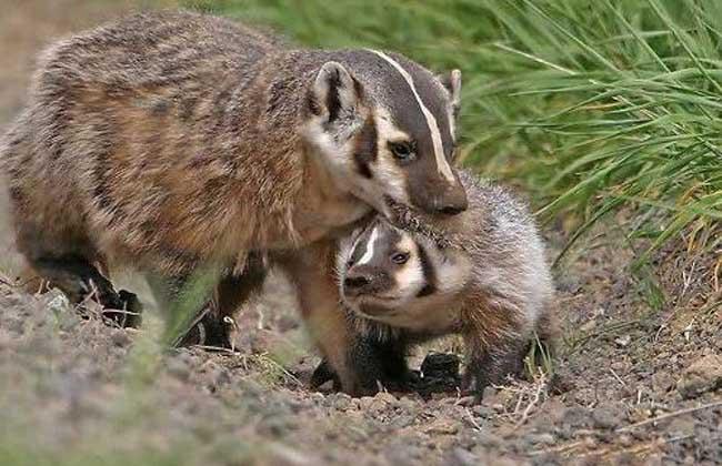 狗獾的生活习性 狗獾有冬眠习性,挖洞而居,洞道长达几米至十余米不等,其间支道纵横。冬洞复杂,是多年居住的洞穴,每年整修挖掘而成,有2~3个进出口,内有主道、侧道及盲端,主道四壁光滑整齐,无杂物及粪便,末端以干草、树枝、树叶筑窝。春、秋季节在农田附近的土岗和灌丛处筑临时洞穴,白天入洞休息,夜间出来寻食,这类洞穴短而直,洞道粗糙,窝小,草垫薄,仅一个出口。窝距洞口约3~5米,直径为40~60厘米,有狗獾居住的洞穴,洞口光滑,泥土疏松,其上留有足迹,松土延伸远达20米左右,在松土尽端的两侧有卵圆形粪坑。