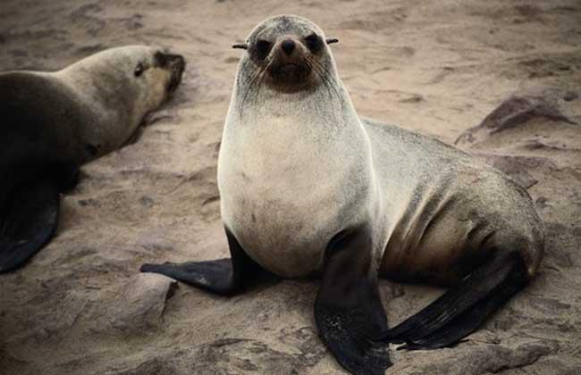 海狮 海狮是非常社会化的动物,通常集群活动,有时在陆岸可组成上千头的大群,但在海上常发现有1头或十数头的小群体,白天在海中捕食,游泳和潜水主要依靠较长的前肢,偶而也会爬到岸上晒晒太阳,夜里则在岸上睡觉。以鱼类、乌贼、海蛰和蚌为食,也爱吃磷虾,有时在饥饿的时候甚至会吃企鹅。