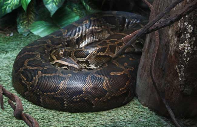 蟒蛇的天敌是什么?