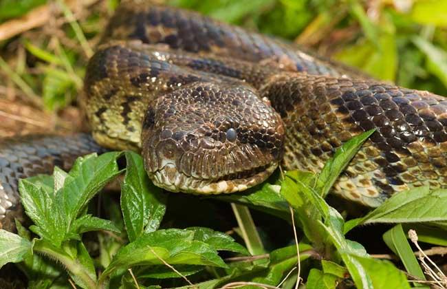 蟒蛇是当今世界上较原始的蛇种之一,为世界上最大的较原始的蛇类,属于树栖性或水栖性蛇类,生活在热带雨林和亚热带潮湿的森林中,常以小麂、小野猪、兔、松鼠和家禽等为食,一次可吞食与体重相等重或超过体重的动物,下面我们就一起来看一看蟒蛇是胎生还是卵生动物吧!