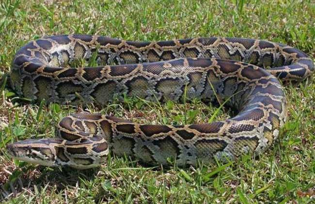 蟒蛇是卵生动物.