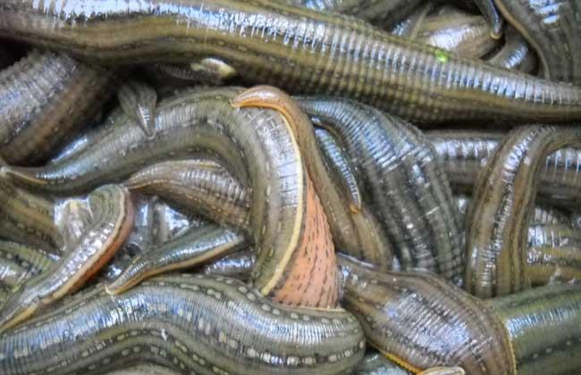 水蛭养殖成本及利润