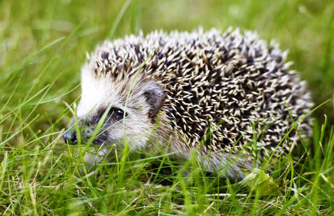 刺猬是保护动物吗?