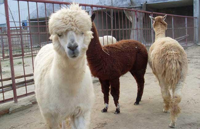 羊驼是什么动物,养殖密度怎么控制?