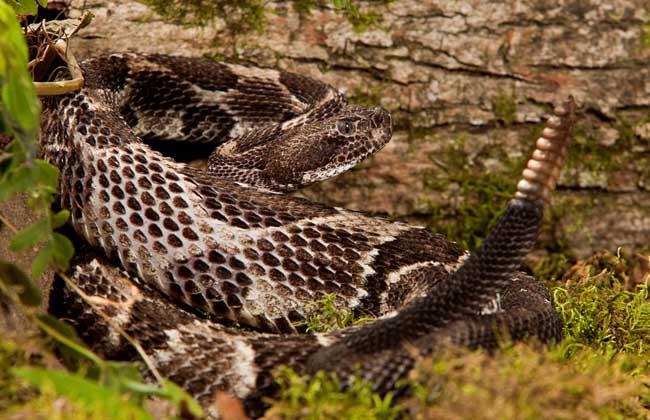 响尾蛇尾巴有什么作用?