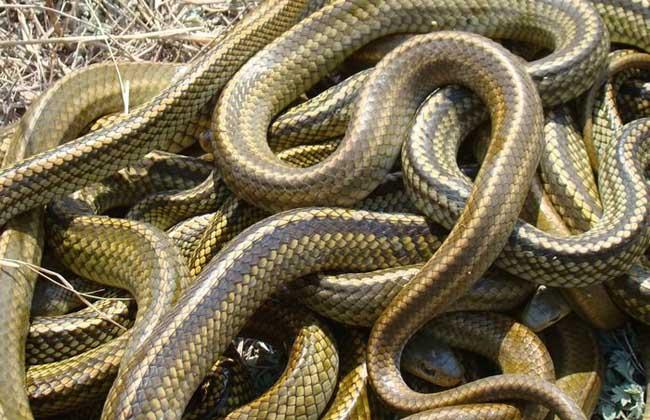 乌梢蛇吃什么食物?