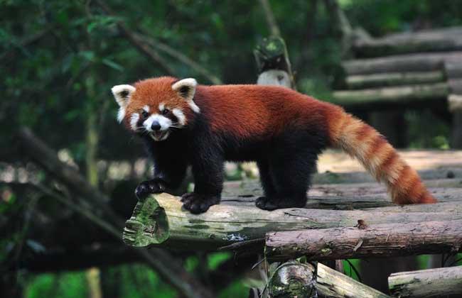 小熊猫别称红熊猫、红猫熊、九节狼、金狗等,为哺乳纲食肉目小熊猫科小熊猫属动物,外形像猫,但较猫肥大,全身红褐色,生活于海拔3000米以下的针阔混交林或常绿阔叶林中有竹丛的地方,喜好在向阳的山崖或大树顶上晒太阳,下面我们就一起来看一看小熊猫吃什么食物吧!