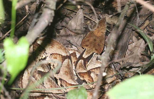 五步蛇吃什么食物? 五步蛇属广食性蛇种,饲料种类较多,如蛙类、鼠类、昆虫类等,幼蛇捕食能力差,食物以泽蛙、棘胸蛙、蟾蜍的幼体及大白鼠、小白鼠的乳鼠为主。一般出壳后10天到第1次冬眠前的1龄幼蛇,食物以平均体重1.6克左右的泽蛙幼体为主,辅以2克左右重的乳鼠。第1次冬眠苏醒后到第2次冬眠前的2龄幼蛇食物以成体泽蛙为主,小鼠为辅,第2次冬眠苏醒到第3次冬眠前的3龄幼蛇食物以小白鼠为主,泽蛙、青蛙为辅,成蛇的饲料主要是人工饲养的小白鼠、大白鼠、青蛙、蟾蜍等。