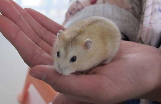 仓鼠吃什么食物,养殖用什么饲料?图片