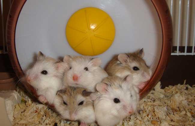 仓鼠吃什么食物,养殖用什么饲料?