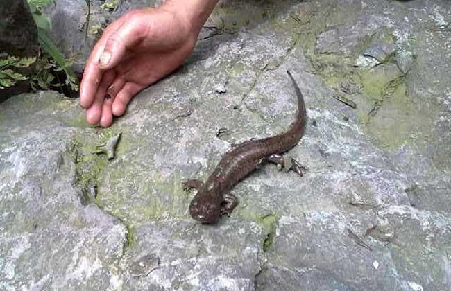 东方蝾螈能吃吗