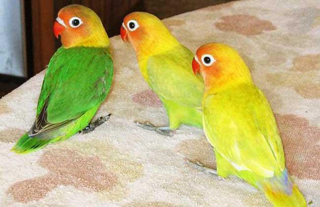 牡丹鹦鹉怎么分公母?