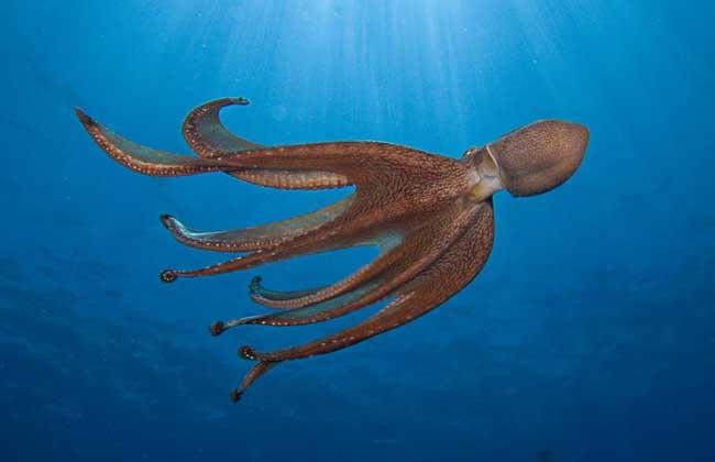 章鱼是海洋软体动物.