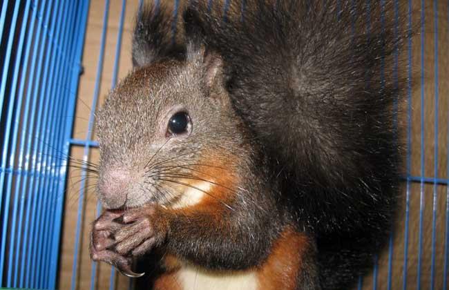 魔王松鼠怎么养,养殖用什么饲料