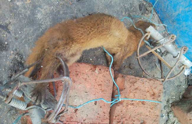 黄鼠狼寻踪方法 猎人要猎捕黄鼬,必须了解黄鼬的活动规律。要了解黄鼬的活动规律,必须察看黄鼬活动留下的各种踪迹。为此,猎人要到黄鼬经常出没活动的地区,察找黄鼬留下的粪便、足迹、吃食残渣等等,从中了解黄鼬活动的规律。黄鼬一般不在洞口排便,它喜欢在安静、光滑的高处大小便,大便呈黑条状,表面光润,粗细象小手指一样,长约四、五厘米。尿奇骚,黄色,溺于石板上干后呈黄色结晶。雪地上黄鼬的足踪是长圆形的并列对踪,或一稍前一稍后的对踪。刚出穴时,黄鼬懒,步子小,雪地上的踪印密。返穴时步子大,踪印稀。猎人从黄鼬洞口附近足踪