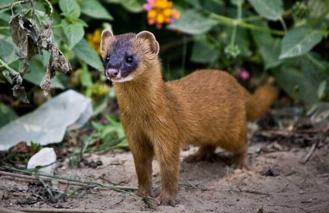 动物,皮毛适合制作水彩或油画的画笔,中国人称为狼毫,具有一定的养殖