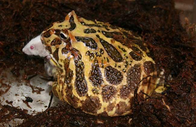 角蛙是两栖类动物,蝌蚪在水中生活,成体以陆栖为主,饲养角蛙的朋友如果不是自己繁殖的话,可能都会好奇他们是怎么从蝌蚪逐渐变成成体的样子的,下面我们就一起来看一看角蛙在生长过程中经历的蝌蚪到幼体再到成体的整个成长过程吧!