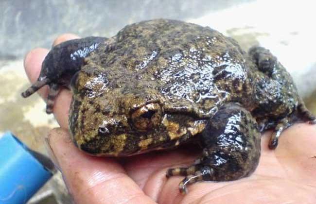 石蛙的生长过程,养殖用什么饲料