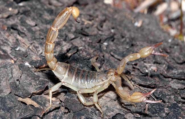 不干不湿,植被稀疏的地方,主要捕食无脊椎动物,如蜘蛛,蟋蟀,小蜈蚣,多