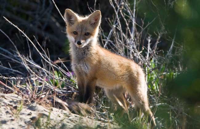 狐狸为哺乳纲食肉目犬科动物,实际上是民间对北极狐、赤狐、银黑狐、沙狐等这一类动物的通称,性格机敏胆小,肉食性动物,主要吃鼠,偶尔才袭击家禽,所以是一种益多害少的动物,下面我们就一起俩看一看狐狸吃什么食物吧!