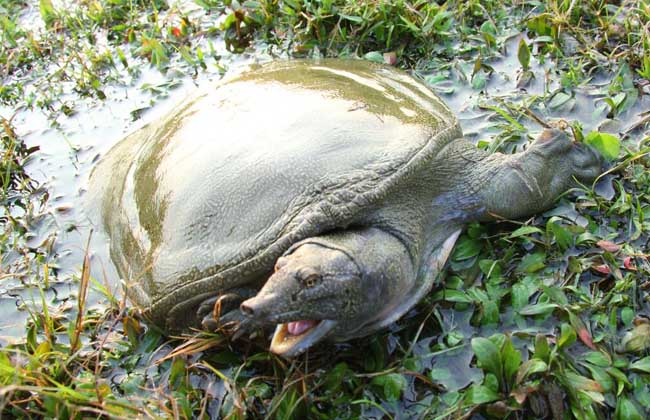甲鱼是卵生动物,卵在无亲体保护条件下孵化,孵化期长,甲鱼的产卵时间