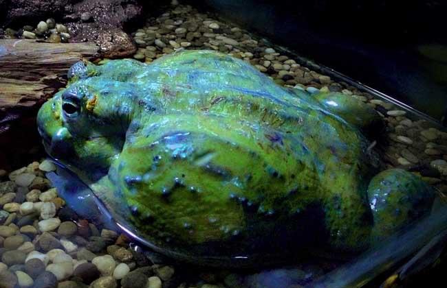 牛蛙吃什么食物,是哪里的产地??