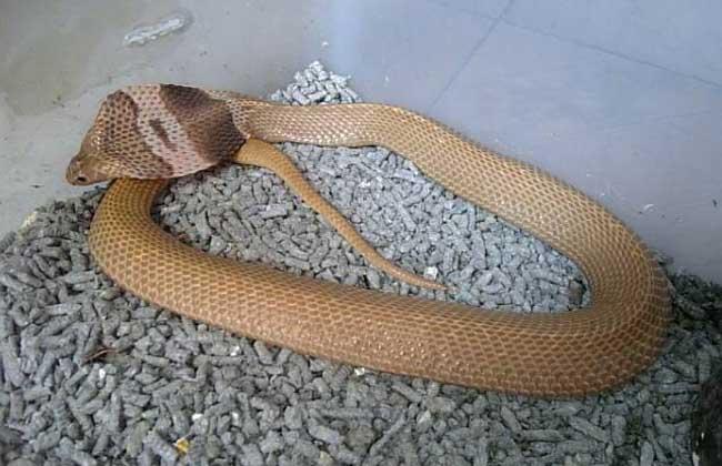 舟山眼镜蛇卵生动物,通常5月到6月交配,7到8月生产,一次产卵7到19枚