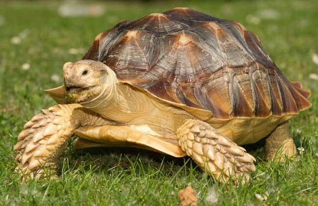 乌龟吃什么食物? 乌龟食性较广,稻谷、小麦、豌豆、小鱼、虾、昆虫、蜗牛、精猪肉等均吃,其中最喜欢吃的食物是小鱼、精猪肉、玉米。 人工饲养时为满足乌龟生长所需要的各种营养,避免因饲料单一而生长发育不良和产生厌食症,应采用多种饲料,如ag游戏直营网 平台性饲料中的鱼虾、蜗牛、河蚌等和植物性饲料中的稻谷、小麦、玉米等。 注意要想让乌龟充分地消化这些饲料,在投喂饲料之前,须先将玉米、豌豆等压碎,浸泡2小时左右,其他大块食物也须先切碎,然后才投喂。