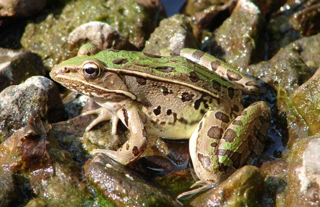 养殖池的建造 青蛙养殖池分为产卵池,蝌蚪池和成蛙池。一般宜选择既潮湿又温暖避阳的地方,以长形水泥池或土池为宜。野外大池4×6米为一单池,池壁最好抹上水泥,池底仍留泥土;庭院小池一般1×1.5米至2米为宜,池深一般1米,设有灌水孔和排水道,水深20~50厘米。池面必须设有遮荫板。一般每平方米可饲养40只成蛙。青蛙养殖池采用土池、砖池、稻田均可,关键在于防逃。有条件者可砌砖围墙,亦可网围,一般1~1.