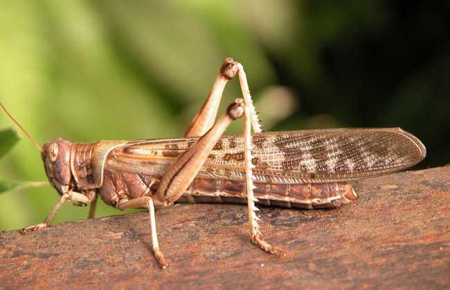 开水烫等方法将地面上的蚂蚁,蝼蛄等消灭干净,因为以上几种动物是蝗虫