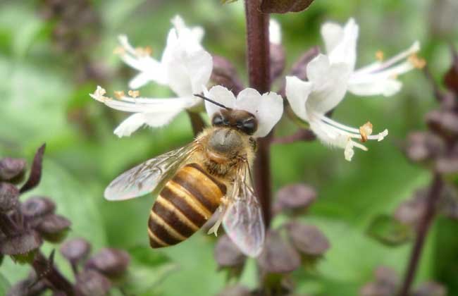 蚂蚁蜂群春季管理片段,养殖方案多长?求生周期描写的小蜜蜂图片