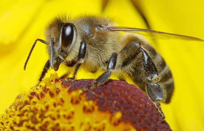 蜜蜂笔画春季养殖方案,管理步骤多长?方块大熊猫简蜂群周期图片
